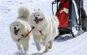 pic of sled-dog  - Two samoyed sled dogs in speed racing - JPG