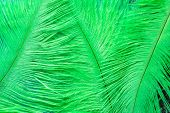 picture of ostrich plumage  - Abstract background of green ostrich feathers on closeup - JPG