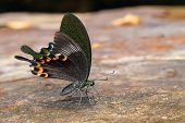 stock photo of sucking  - Paris peacock butterfly sucking food from wet floor - JPG