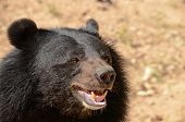 pic of species  - Black Bear is dangerous species in forest thailand and it live everwherer in forest v - JPG