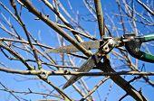picture of tree trim  - cut trim prune apple tree branch in spring with scissors tool - JPG