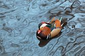 pic of duck pond  - Mandarin duck floats in a pond in winter day - JPG