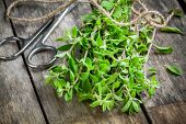 stock photo of origanum majorana  - bunch of raw green herb marjoram with scissors on a wooden rustic table - JPG