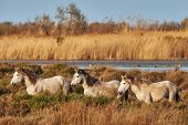 stock photo of tall grass  - Three young horses of the Camargue walking free in the tall grass - JPG