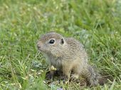 stock photo of gopher  - gopher in the nature feeding at the sun - JPG