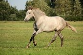 pic of galloping horse  - Young gray andalusian spanish horse galloping free and happy - JPG