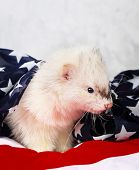 stock photo of ferrets  - Little cute ferret on the USA flag background - JPG