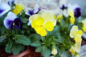 picture of viola  - Beautiful viola flowers in the garden - JPG