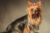 stock photo of yorkshire terrier  - side view of a seated yorkshire terrier puppy dog with long coat looking at the camera - JPG