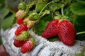 stock photo of strawberry plant  - Beautiful strawberry plant with red flowers in the vintage pot - JPG