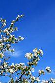 flowerses to aple trees