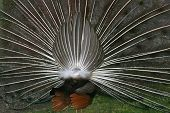Tail Of A Peacock
