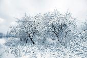 aple trees in snow in winter garden