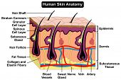 Human Skin Anatomy cross section diagram anatomical figure with all layers epidermis dermis subcutan poster