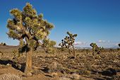 Joshua Trees (Yucca brevifolia)
