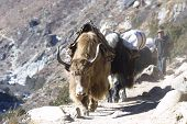 picture of sherpa  - Big animal - Himalaya Yaks - nepal khumbu - asia. ** Note: Slight blurriness, best at smaller sizes - JPG