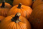 Harvesting Pumpkins For Halloween poster