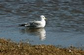 Sea Gull Reflection