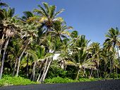 Palm Trees On A Black Sand Beach