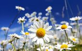 stock photo of daisy flower  - Summer field with white daisies on blue sky - JPG