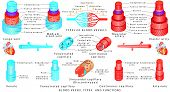 Arteries And Veins. Structure Of Blood Vessels. Blood Vessel Types And Functions. Anatomy Of Blood V poster