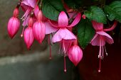 Bunch Of Beautiful Vibrant Pink Blooming Fuchsia Flowers, Cusco, Peru, South America poster