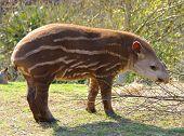 picture of tapir  - Baby tapir - JPG