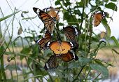 Beautiful Butterfly, Black Veined Brown Butterfly, Animals,butterflies,antennas, Butterfly, Common T poster
