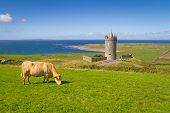 Doonagore castle with Irish cow near Doolin - Ireland