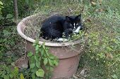 A Beautiful Black And White Cat Chills Out In A Large Pot Of Catnip poster