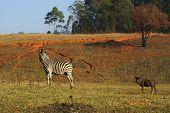 Zebra and gnu