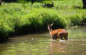 Doe deer in a river