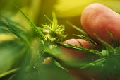 Farmer Is Examining Cannabis Hemp Male Plant Flower Development, Extreme Close Up Of Fingers Touchin poster