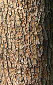 Textura de corteza de árbol