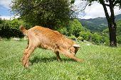 Goat Playing In Asturias