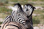 Zebra Calf In Etosha Namibia Wildlife Safari poster