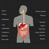 image of rectum  - The human digestive system in vector format - JPG