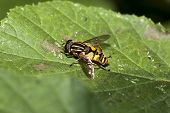 Sunfly Helophilus Pendulus