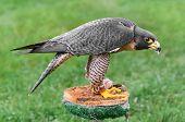 Peregrine Falcon (Falco peregrinus) Mantles Over Food