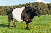 stock photo of hackney  - Portrait of a five years old Lakenvelder cow with udders and hackneyed horns - JPG