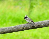 Bachstelze Vogel sitzt auf Barsch