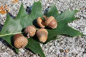 acorn and oak leaf marsh