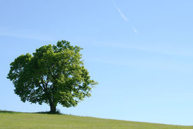 picture of maple tree  - A large maple tree in an open field - JPG