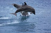 foto of bottlenose dolphin  - Bottlenose Dolphin in the ocean of Palawan - JPG