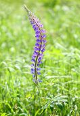 The Large-leaved Lupine (Lupinus polyphyllus) is beautiful summer flower with very toxic (psychedeli