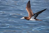foto of booby  - Brown booby bird over the ocean - JPG