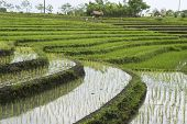 Rice Fields On Terraces, Indonesia (4)