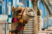 stock photo of hump day  - The muzzle of the African camel close - JPG