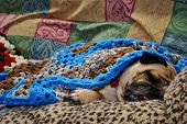 Sleepy pug snuggled up in a heap of warm blankets,