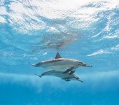 foto of spinner  - Pair of spinner dolphins just below surface with reflection underwater - JPG